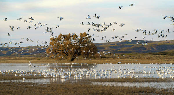 Photograph - Snow Geese At Bosque Del Apache by Judi Dressler