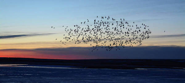 Wall Art - Photograph - Snow Geese At Sunrise by Whispering Peaks Photography