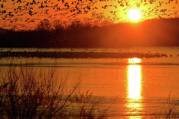 Photograph - Snow Geese At Sunrise by William Jobes