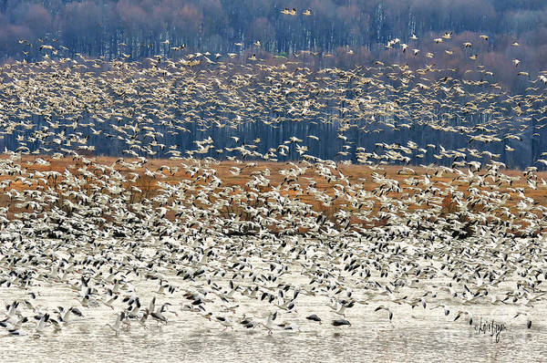 Lancaster County Photograph - Snow Geese At Willow Point by Lois Bryan
