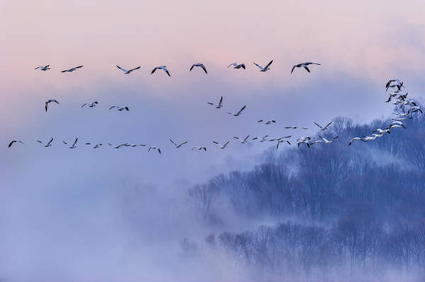 Formation Wall Art - Photograph - Snow Geese by Austin Li