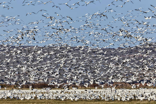 Photograph - Snow Geese Blastoff by Wes and Dotty Weber