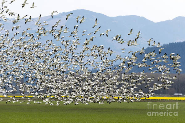 Snow Goose Photograph - Snow Geese Exodus by Mike Dawson