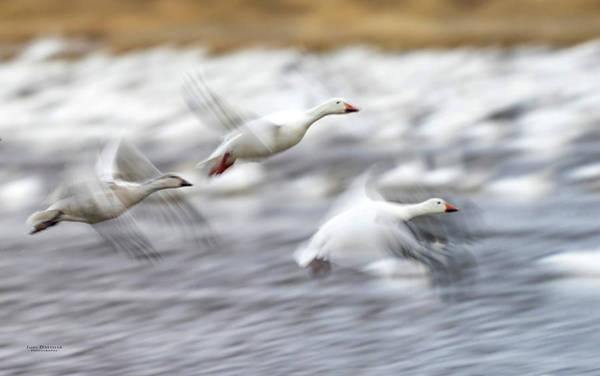 Photograph - Snow Geese Flight Motion Blur by Judi Dressler