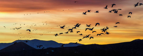 Photograph - Snow Geese Flying Into The Sunset by Judi Dressler