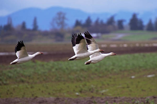 Photograph - Snow Geese In Flight by David Lunde