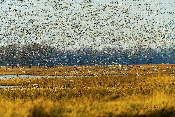 Photograph - Snow Geese In Flight by Edward Peterson