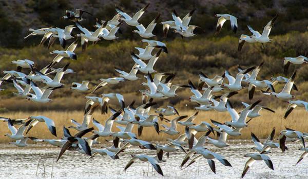 Photograph - Snow Geese Flock In Flight by Judi Dressler