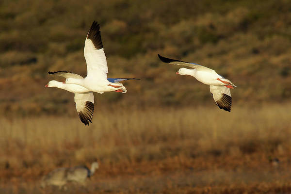 Photograph - Snow Geese In Flight by Leda Robertson