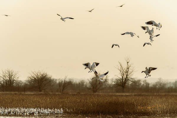 Photograph - Snow Geese Landing by Edward Peterson