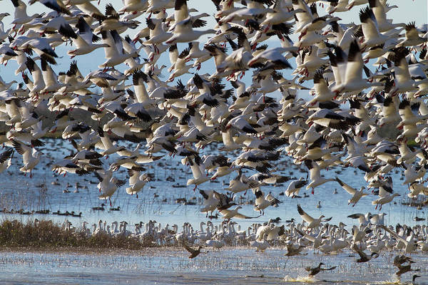 Photograph - Snow Geese Lift Off by Mark Miller