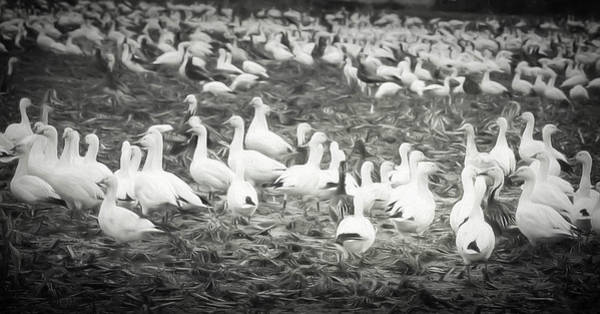 Fill Digital Art - Snow Geese by Lisa Bell
