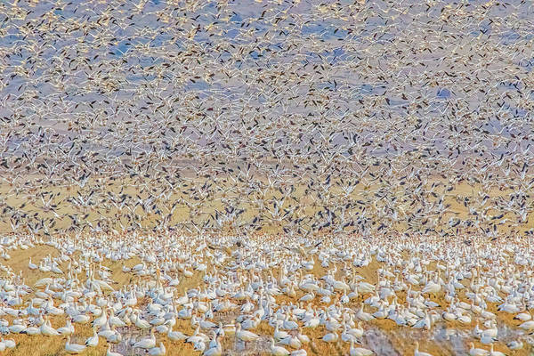 Photograph - Snow Geese Take Off 2 by Marc Crumpler
