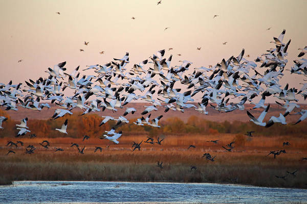 Photograph - Snow Geese Taking Flight by Jean Clark