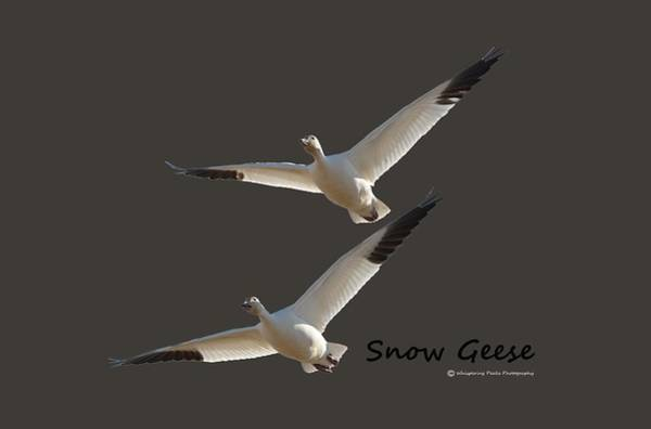 Wall Art - Photograph - Snow Geese by Whispering Peaks Photography