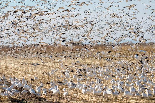 Photograph - Snow Goose Migration by Judi Dressler