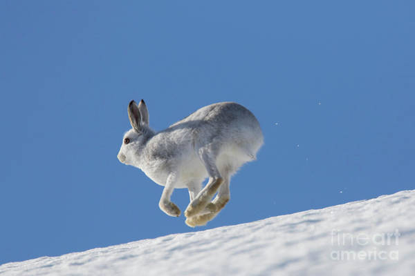 Photograph - Snow Hare by Arterra Picture Library