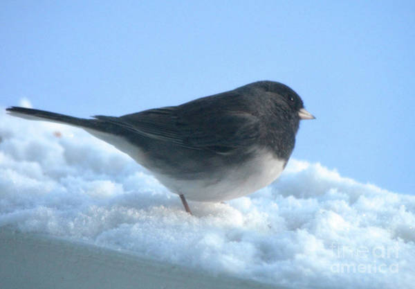 Photograph - Snow Hopping #1 by Cindy Schneider
