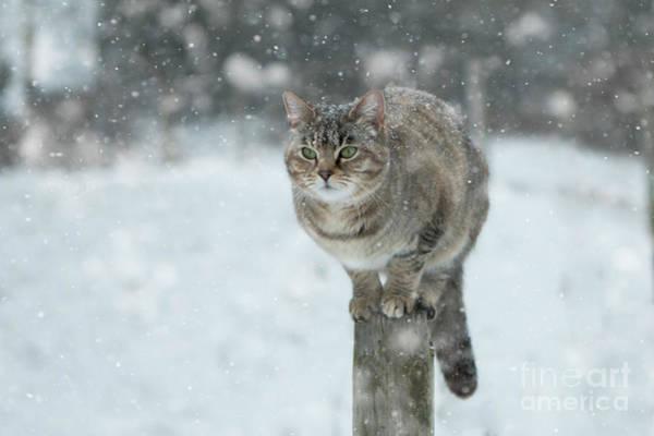 Wall Art - Photograph - Snow Kitty by Angel Ciesniarska