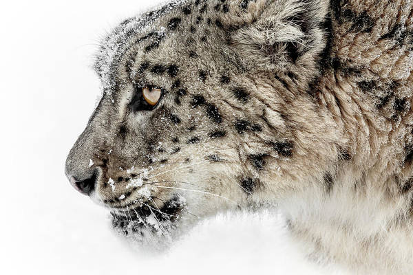 Photograph - Snow Leopard Attitude by Wes and Dotty Weber