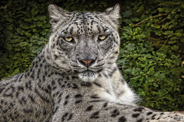 Photograph - Snow Leopard by Chris Lord