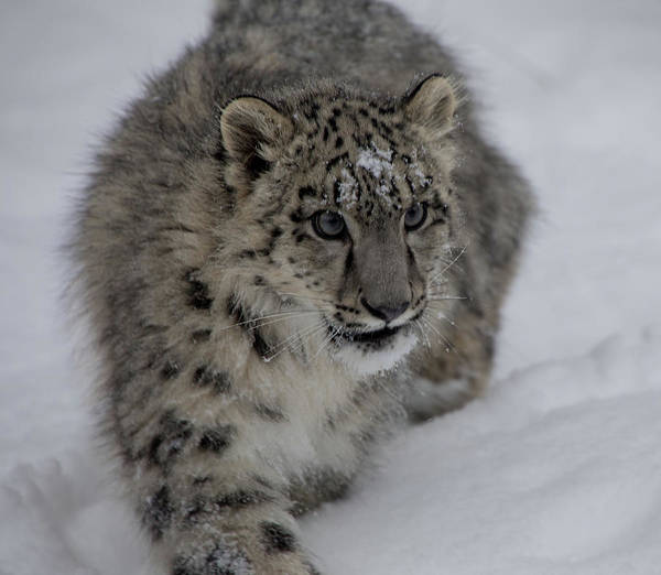 Photograph - Snow Leopard Cub 2 by Teresa Wilson