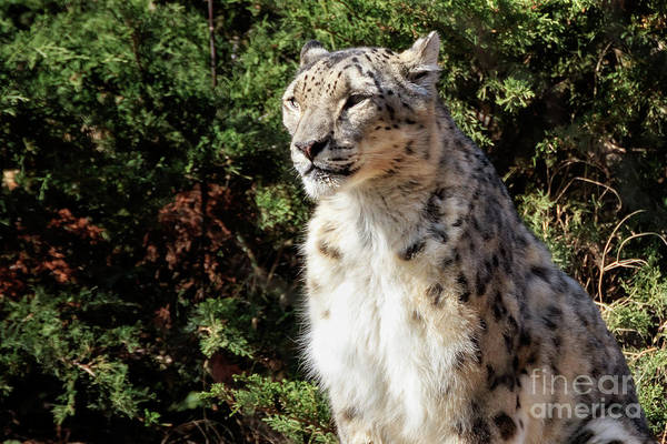 Photograph - Snow Leopard In The Sun #2 by Richard Smith