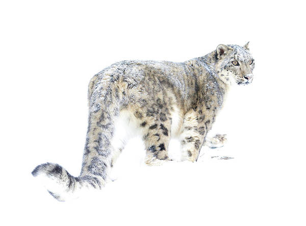 Wall Art - Photograph - Snow Leopard On White by Steve McKinzie