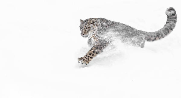Photograph - Snow Leopard Snowplow by Wes and Dotty Weber