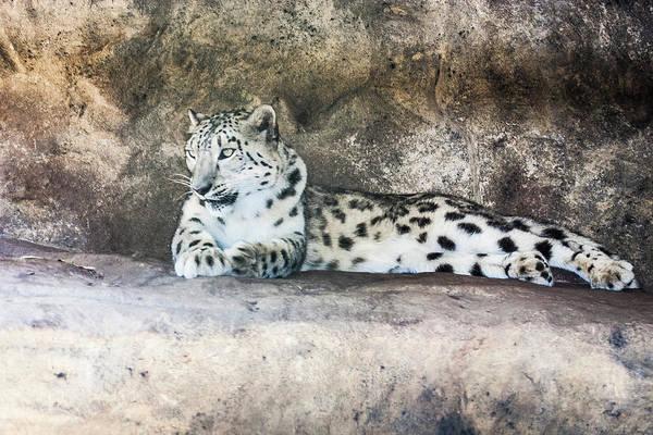 Photograph - Snow Leopard - Uncia by Steven Ralser
