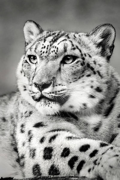 Photograph - Snow Leopart In Monochrome by Don Johnson