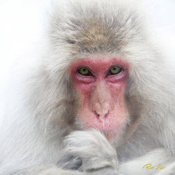 Photograph - Snow Monkey Consideration by Rikk Flohr