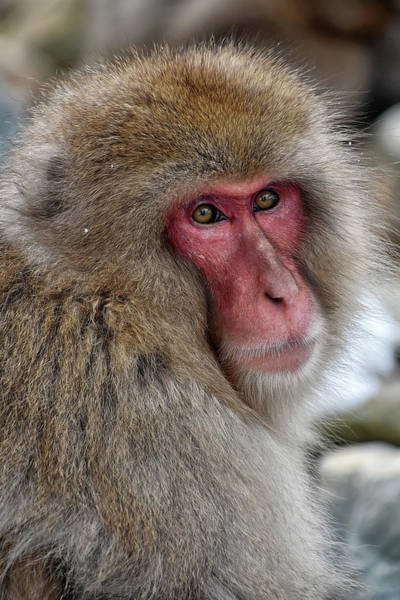 Photograph - Snow Monkey by Kuni Photography