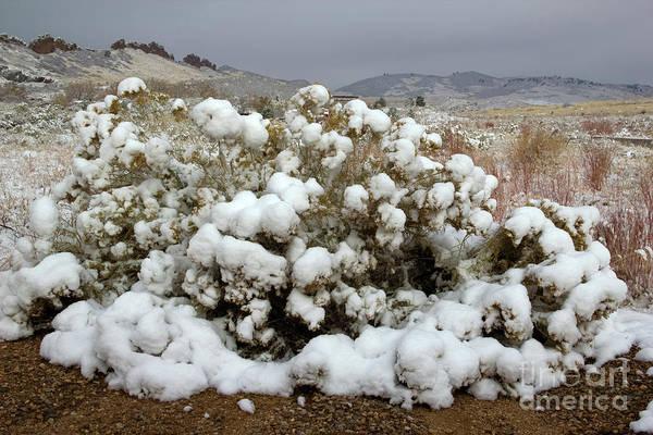 Photograph - Snow On A Bush by Jon Burch Photography