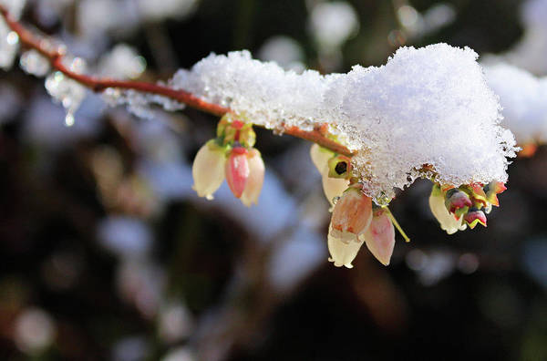 Photograph - Snow On Blueberry Blossoms by Kristin Elmquist