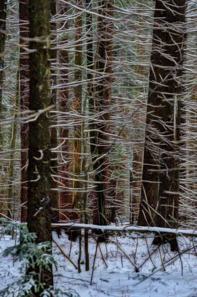 Photograph - Snow On Limbs In Thick Woods by Dan Friend
