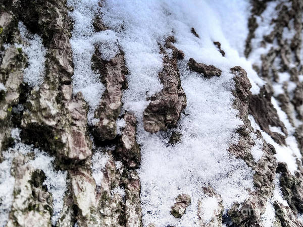 Photograph - Snow On The Bark by Robert Knight