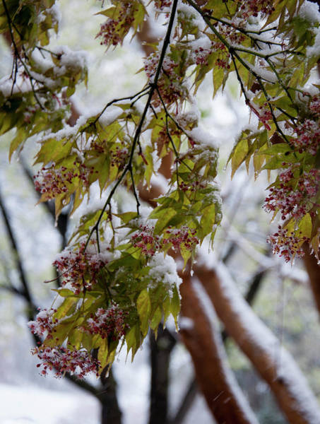Photograph - snow on the Cherry blossoms by Chris Flees