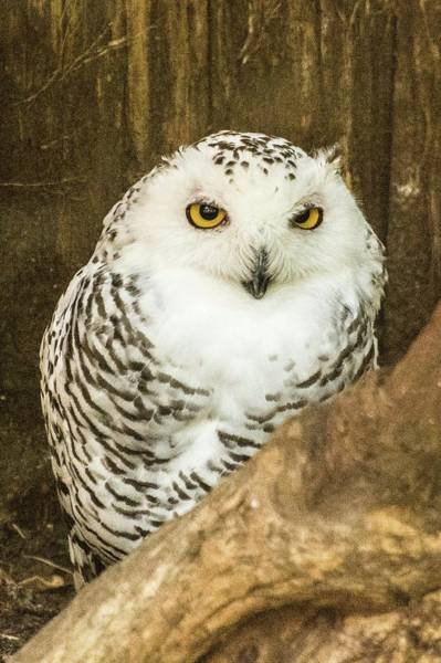 Photograph - Snow Owl by John Benedict