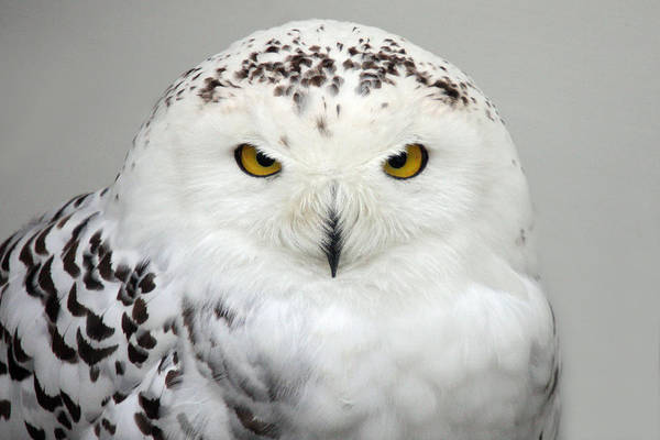Photograph - Snow Owl by Pierre Leclerc Photography