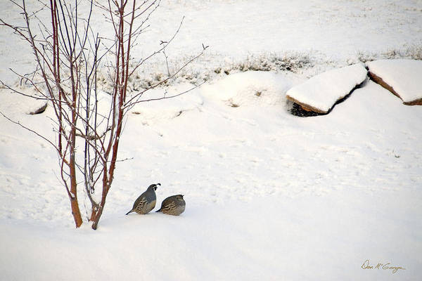 Photograph - Snow Quail by Dan McGeorge
