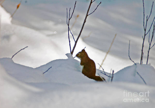 Photograph - Snow Squirrel by Cindy Murphy - NightVisions