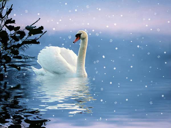 Wall Art - Photograph - Snow Swan Swim by Jessica Jenney