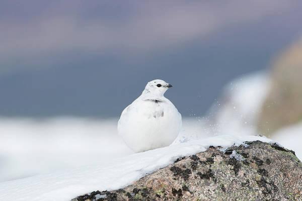 Photograph - Snow-white Ptarmigan by Peter Walkden