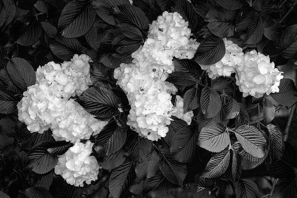 Shrubs Photograph - Snowball Bush by Tom Mc Nemar