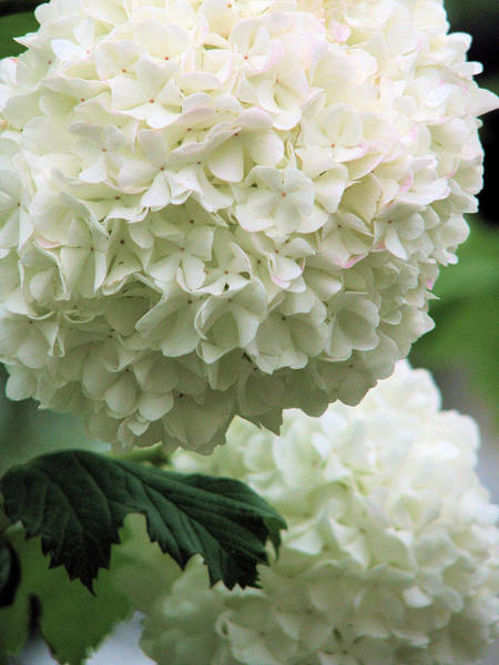 Photograph - Snowball White by Lora Fisher
