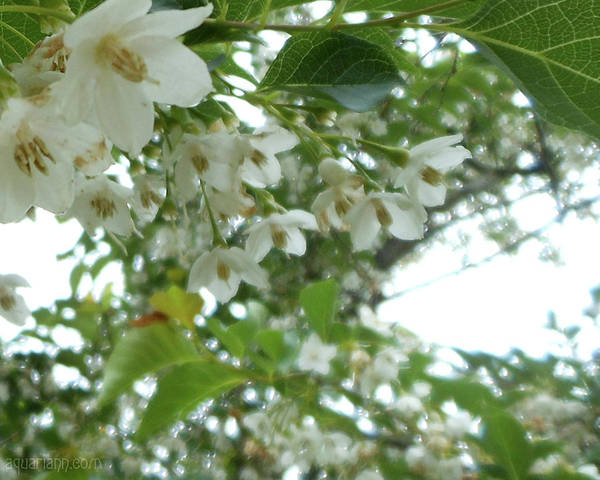 Photograph - Snowbell Sparkles In Spring by Kristin Aquariann