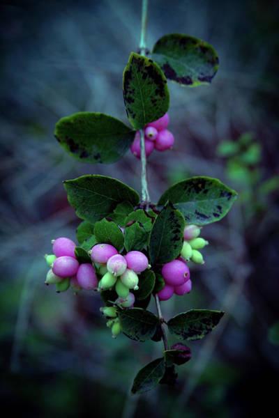 Photograph - Snowberries 5607 H_2 by Steven Ward