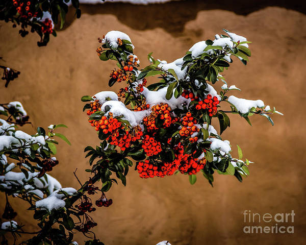 Photograph - Snowberries by Jon Burch Photography