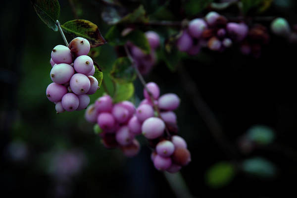 Photograph - Snowberry 5191 H_2 by Steven Ward